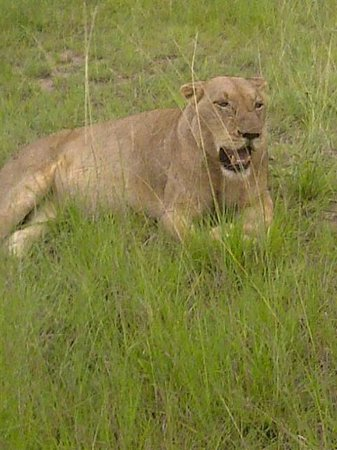 Notten's Bush Camp: a very full lioness