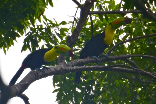 Villas Pico Bonito: A pair of toucans