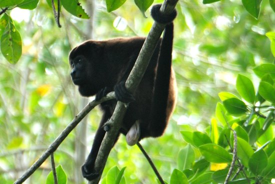 Villas Pico Bonito: Howler Monkey on kayak tour