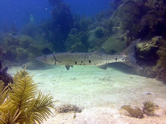 U.S.1 Dive Center: Barracuda