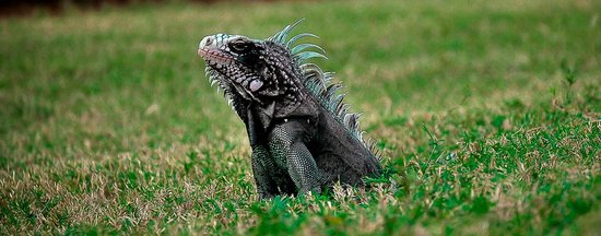 U.S.1 Dive Center: Iguana
