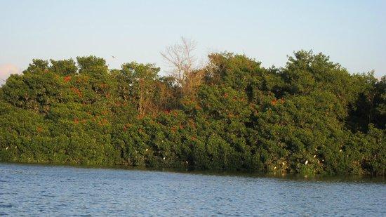 Caroni Lagoon National Park : Scarlet Ibis