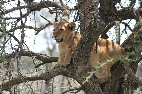 Ubuntu Camp, Asilia Africa : Lion cub learns to climb a tree near Ubuntu Camp