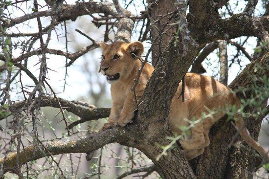 Ubuntu Camp, Asilia Africa: Lion cub learns to climb a tree near Ubuntu Camp