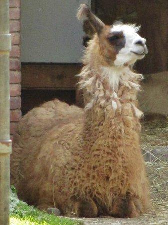 Forsyth Park: Stately Llama