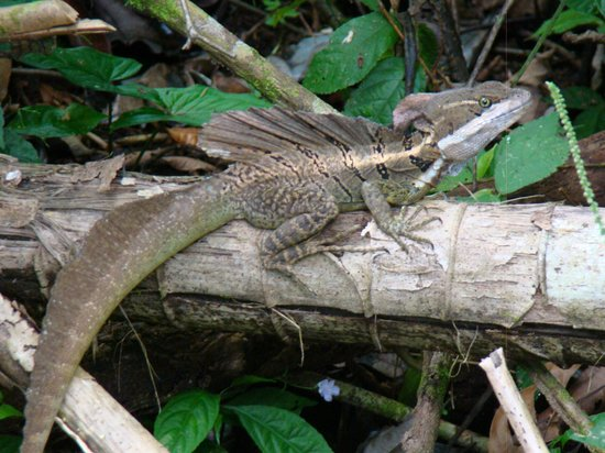 Danta Corcovado Lodge: Male Common basilisk lizard