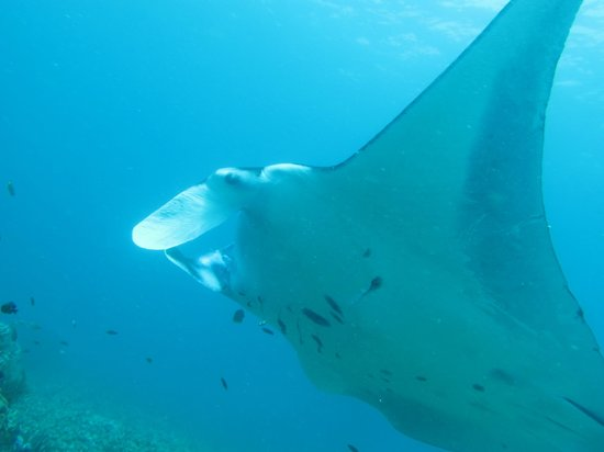 Divine Diving: One of the many mantas