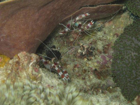 Divine Diving: Banded cleaner shrimps