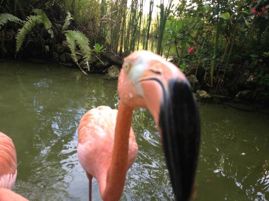 The Reserve at Paradisus Palma Real: Flamingo sniffing the camera