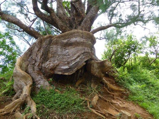 Nuuanu Pali Lookout : Tree at lookout parking area