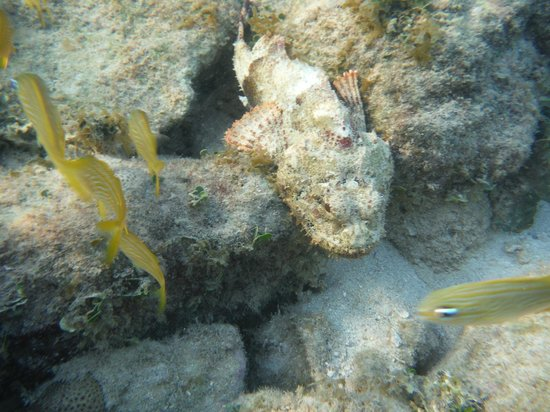 Blue Bahia Resort : Scorpion fish off the Blue Bahia Pier