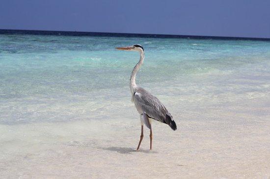 Fihalhohi Island Resort: Bird on the beach