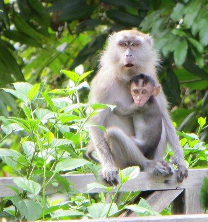 Borneo Nature Lodge: monkeys on our balcony!