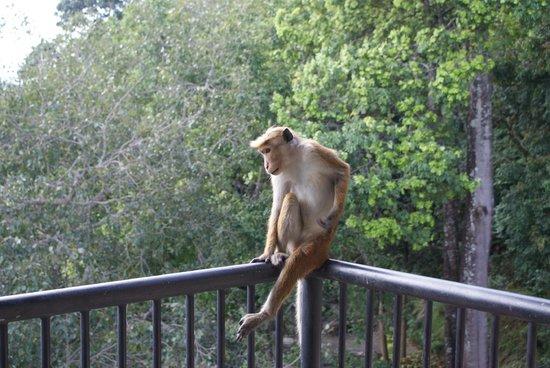 Hotel Thilanka: A monkey on our room balcony