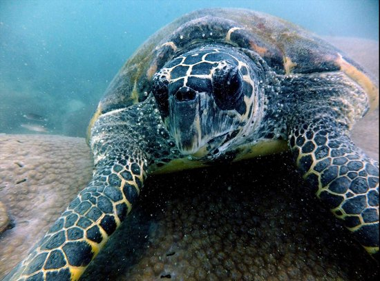 Pattaya Dive Centre: Turtle at 30M about 70-80 years old