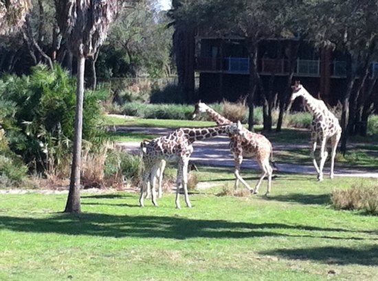 Disney's Animal Kingdom Villas - Kidani Village: Baby Giraffe
