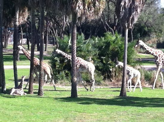Disney's Animal Kingdom Villas - Kidani Village: Whole Giraffe Family