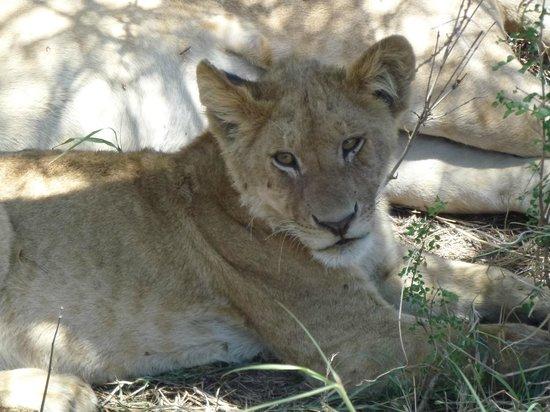 Serengeti Serena Safari Lodge: future king