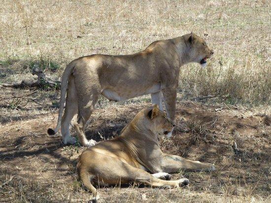 Serengeti Serena Safari Lodge: lioness pair