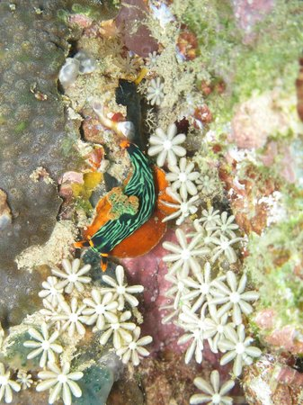 Dive Timor Lorosae: sea slug (nembrotha kubaryana)