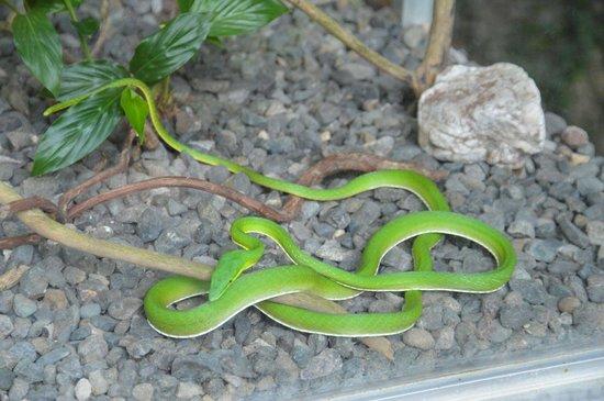 Rainforest Adventures: Vine snake on display behind glass