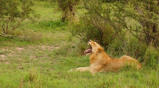 Dulini Lodge : Ranger Fred finds us a young male lion from his favorite pride