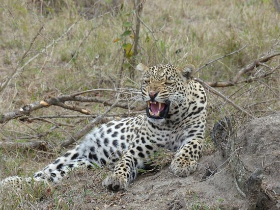 Nkorho Bush Lodge: El leopardo se enfada