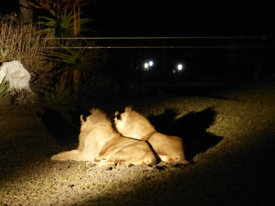 Nkorho Bush Lodge: ¡Leones en el Lodge!
