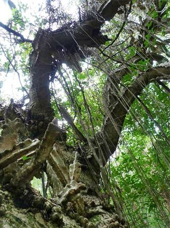 Varahicacos Ecological Reserve: Yes, this tree is a cactus!