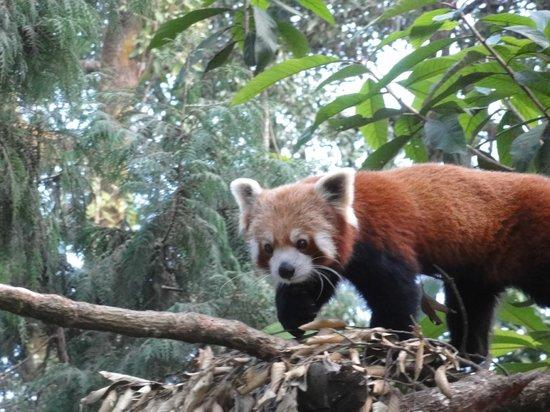 Padmaja Naidu Himalayan Zoological Park: Himalayan Red Panda