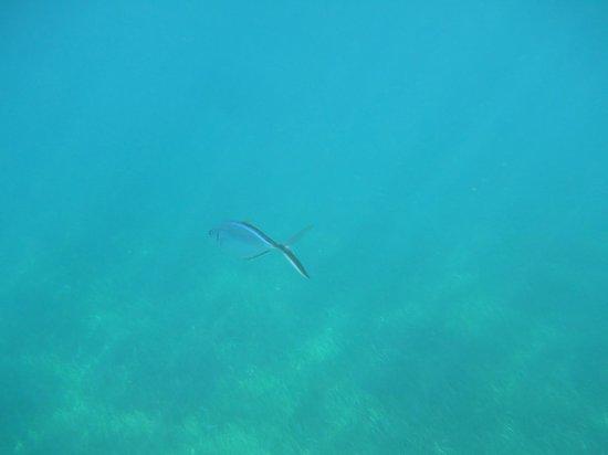 The Snorkel Shop: eagle ray
