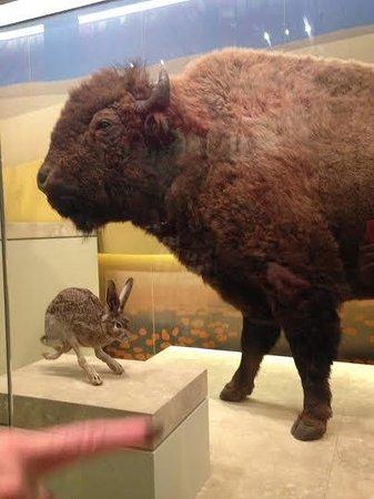 National Museum of Natural History : Buffalo