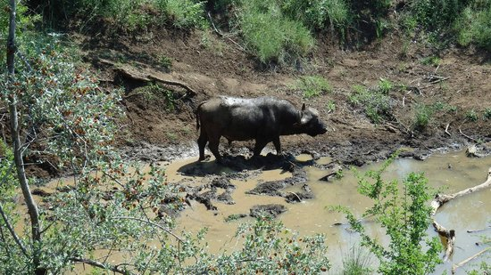 Thakadu River Camp : a buffalo underneath our pool deck in the river