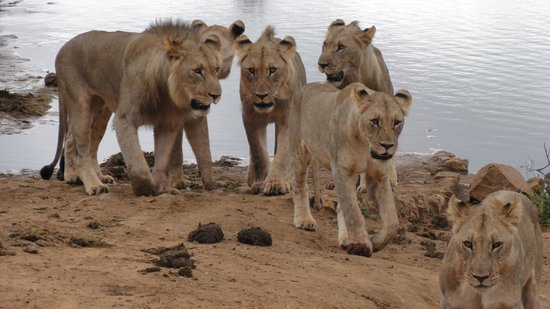 Thakadu River Camp: the lions decide to stay on this side of the river
