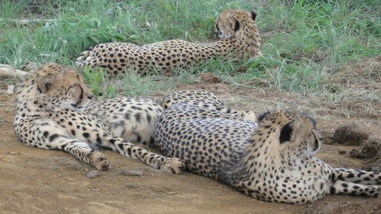 Thakadu River Camp: watching the cheetah brothers