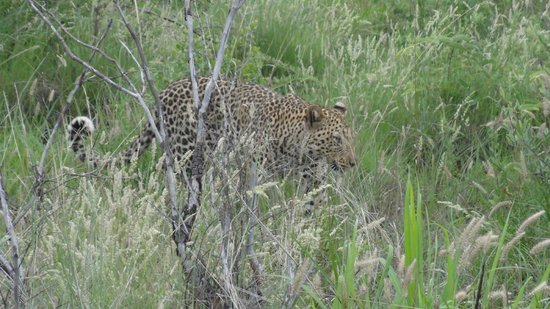 Thakadu River Camp: rare sighting: a young leopard