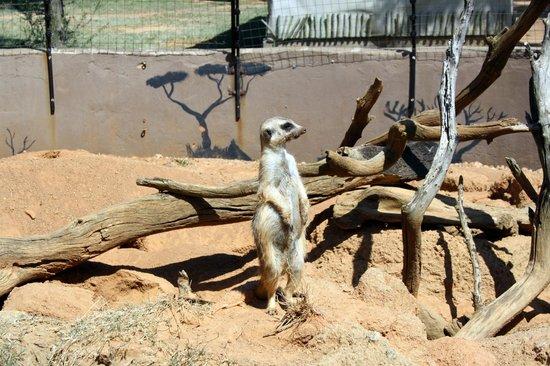 Wildside Tent Camp Lion Park: meerkat