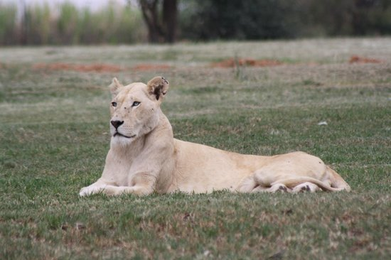 Wildside Tent Camp Lion Park: white lioness