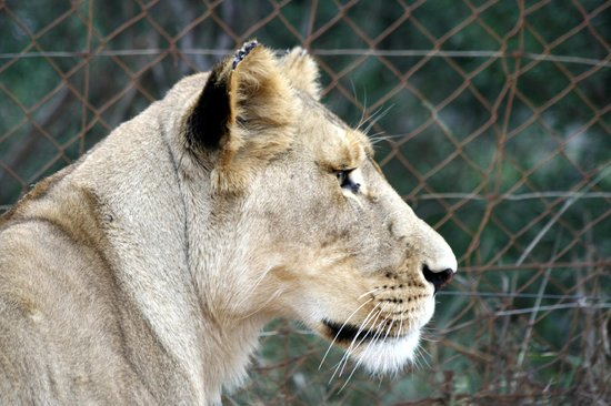 Wildside Tent Camp Lion Park : Miss Lioness