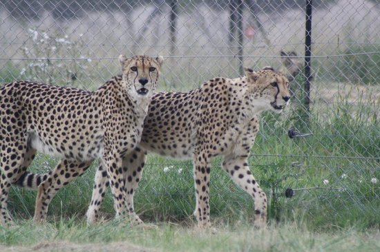 Wildside Tent Camp Lion Park : cheetahs