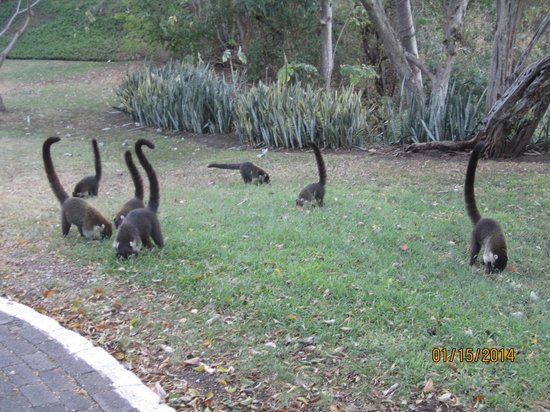Occidental Grand Papagayo by Barcelo: Coati in front of our room