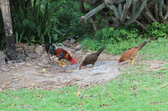 The Tourist Trap: Chickens below the Bannanaquit tree