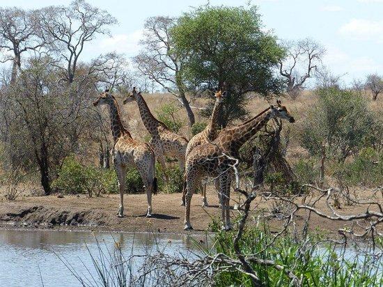 Tanda Tula Safari Camp : Jirafas bebiendo enfrente a la piscina