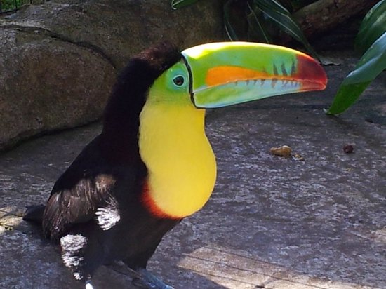 La Paz Waterfall Gardens: The amazing colors of the toucan in the aviary