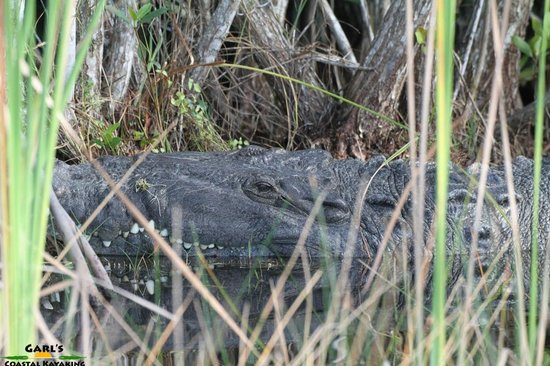 Garl's Coastal Kayaking Everglades : 15 Foot/5 meter Crocodile