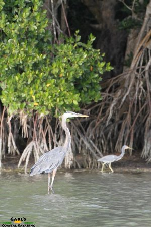Garl's Coastal Kayaking Everglades : Great Blue Heron