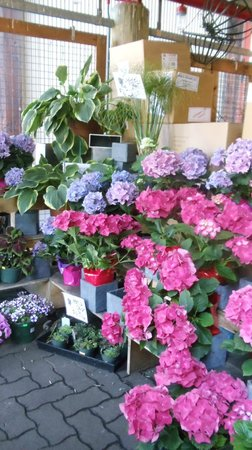 Granville Island : Hydrangeas for sale