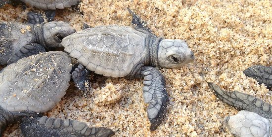 Tortugueros Las Playitas: Just a few hours old!