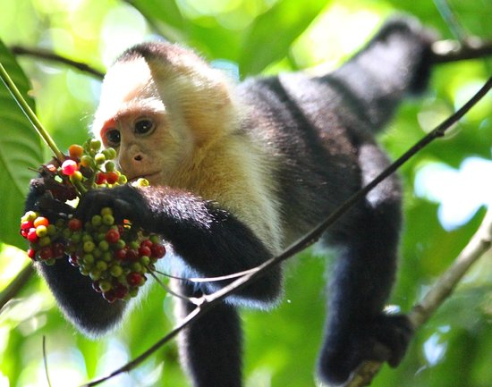 Tulemar Bungalows & Villas: White-faced capuchin