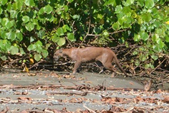 Finca Maresia: Puma Corcovado National Park